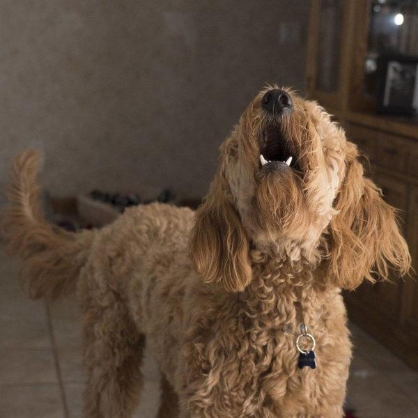 Aboiements - 2 : Autres problématiques comportementales, pratique - Formation en rééducation et comportement canin - AoA Formation