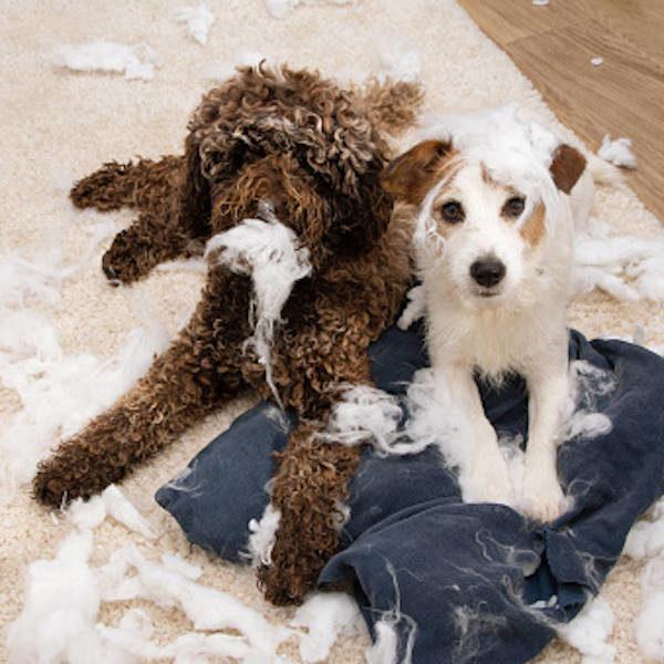 Destructions - 2 + : Autres problématiques comportementales, pratique approfondissement - Formation en rééducation et comportement canin - AoA Formation