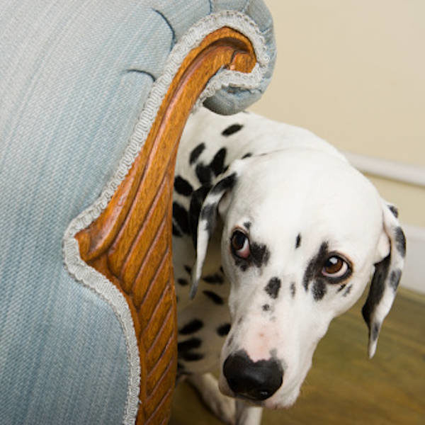1 + : Désensibilisation graduelle, pratique approfondissement - Formation en rééducation et comportement canin - AoA Formation